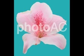 切り抜き写真素材 ツツジ ピンク色 01