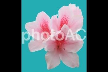 切り抜き写真素材 ツツジ ピンク色 02