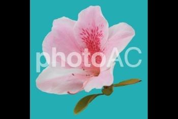 切り抜き写真素材 ツツジ ピンク色 04