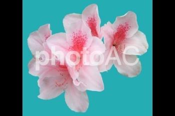 切り抜き写真素材 ツツジ ピンク色 05