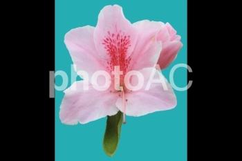 切り抜き写真素材 ツツジ ピンク色 03