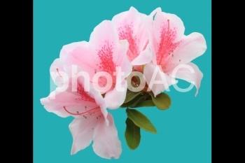 切り抜き写真素材 ツツジ ピンク色 06