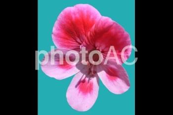 切り抜き写真素材 ペラルゴニウム 02