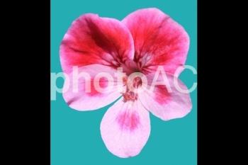 切り抜き写真素材 ペラルゴニウム 03