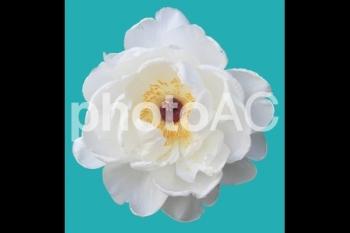 切り抜き写真素材 牡丹の花 01