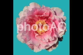 切り抜き写真素材 牡丹の花 02