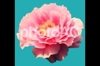 切り抜き写真素材 牡丹の花 03