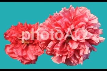 切り抜き写真素材 牡丹の花 04