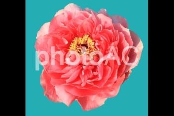 切り抜き写真素材 牡丹の花 05