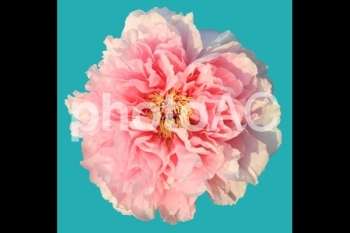 切り抜き写真素材 牡丹の花 06