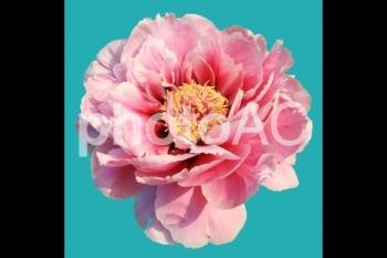 切り抜き写真素材 牡丹の花 07
