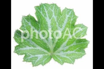 切り抜き写真素材 ユキノシタの葉 01