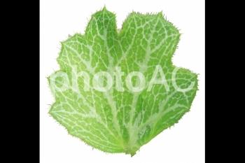 切り抜き写真素材 ユキノシタの葉 02