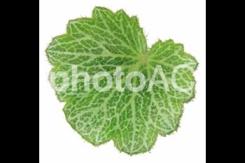 切り抜き写真素材 ユキノシタの葉 03