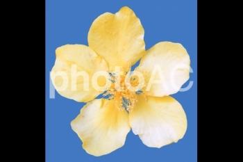 切り抜き写真素材 山吹の花