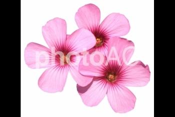 切り抜き写真素材 芝桜の花 01