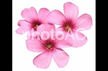 切り抜き写真素材 芝桜の花 02