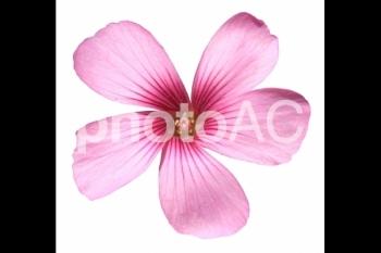切り抜き写真素材 芝桜の花 03