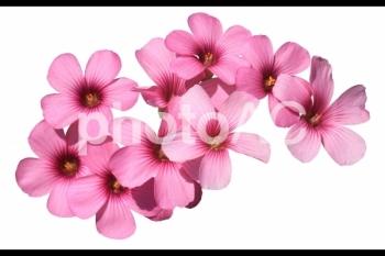 切り抜き写真素材 芝桜の花 04