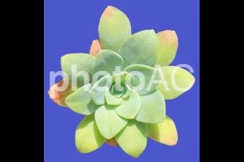 多肉植物<セダム・薄化粧> 05