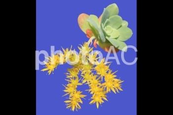 多肉植物<セダム・薄化粧> 03