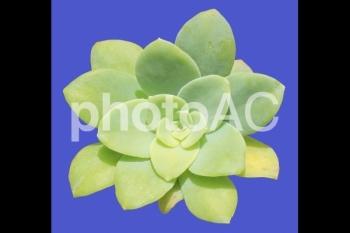 多肉植物<セダム・薄化粧> 04