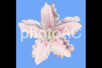 切り抜き写真素材 名前の知らない花01(淡いピンク色の花)