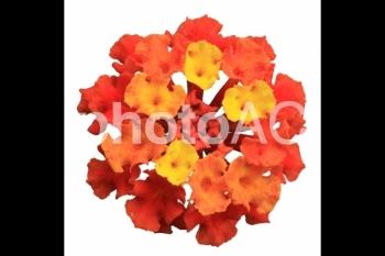 切り抜き写真素材 ランタナ(シチヘンゲ)の花