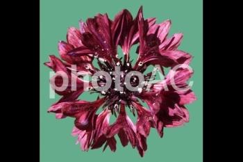 切り抜き写真素材 矢車草の花 01