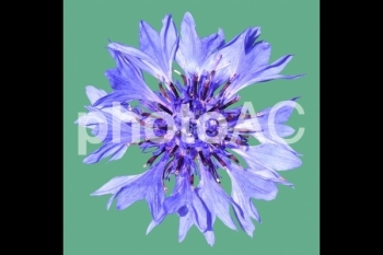 切り抜き写真素材 矢車草の花
