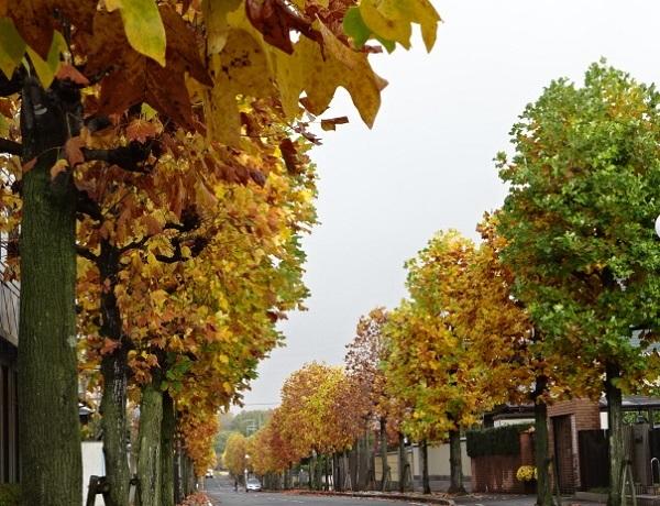 11-15ユリの木