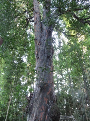 IMG_2133 梛の木