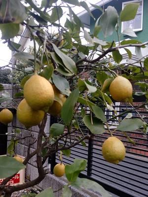 レモン色付く