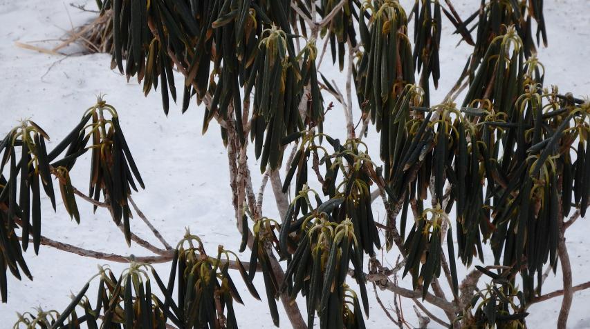 シャクナゲは特に葉を内側に強く巻きこむ