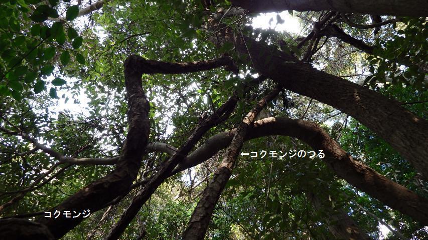 樹上たかくコクモンジのつるが這い登る
