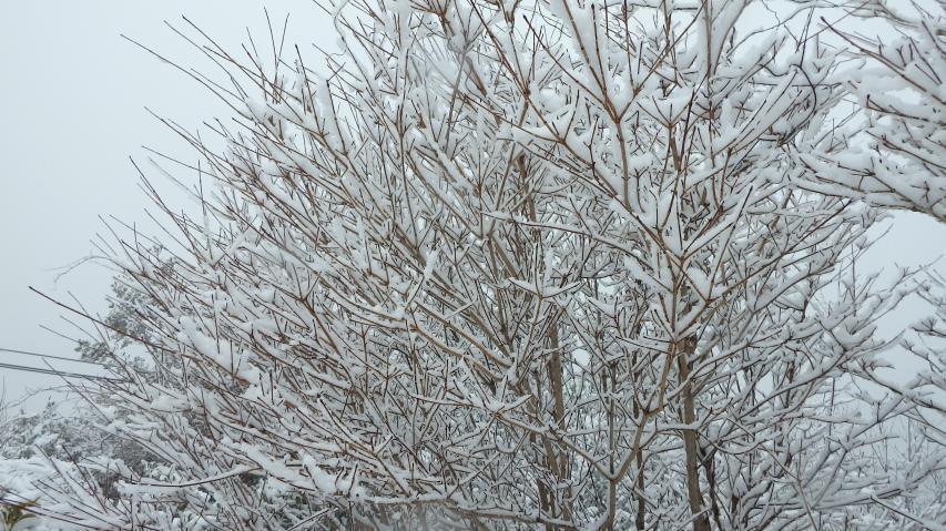 カナクギノキはまるで霧氷みたい