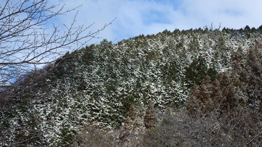 森の林冠にも綿帽子