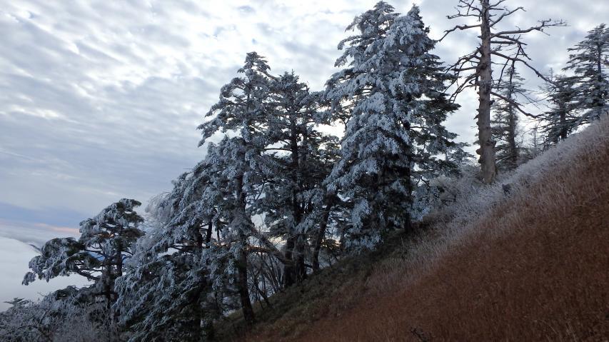 ウラジロモミに霧氷。青空がほしいところ。