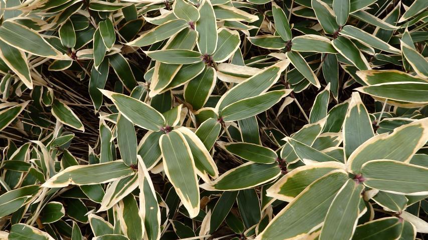 ミヤマクマザサの葉に白い縁取りが出てきた