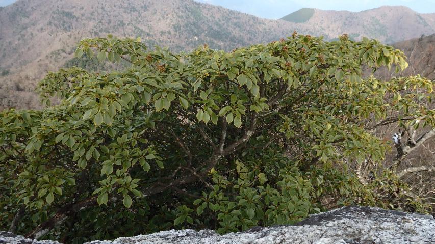 高城山の山頂に自生するヤマグルマ