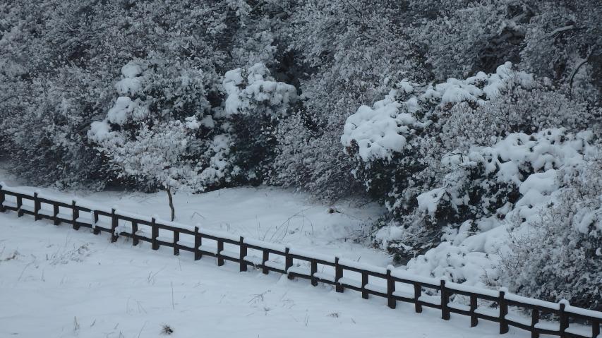 雪がモコモコとしている木はアセビ(馬酔木)