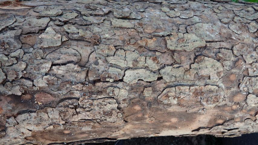アキニレの樹皮