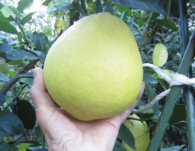大レモン (1)