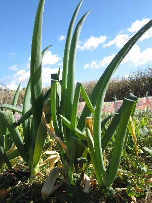 寒波の後の農園 (4)