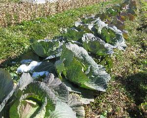 寒波の後の農園 (2)