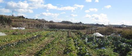 寒波の後の農園 (1)