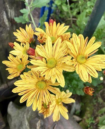 11,6黄色に赤の縞の菊