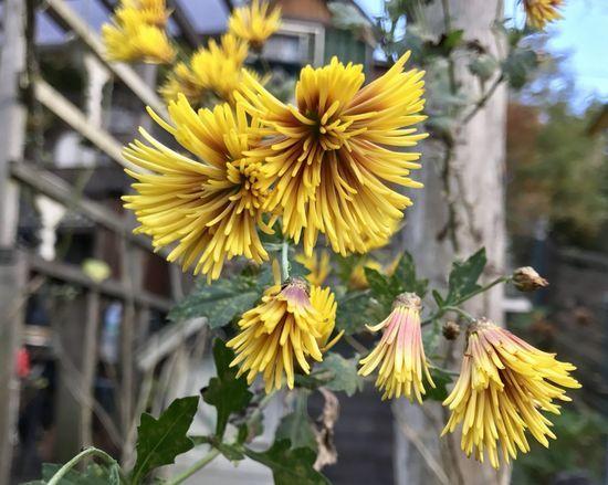 11,22黄色筒咲きの菊