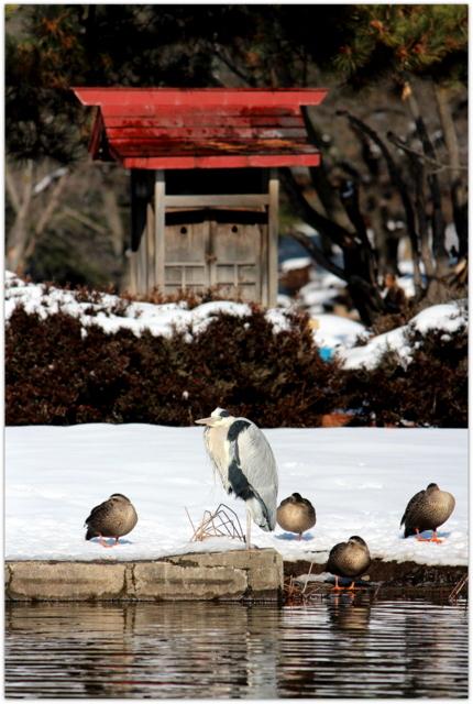 青森県 平川市 猿賀神社 見晴ヶ池 恵比須神社 野鳥 アオサギ 青鷺 写真 猿賀公園 自然