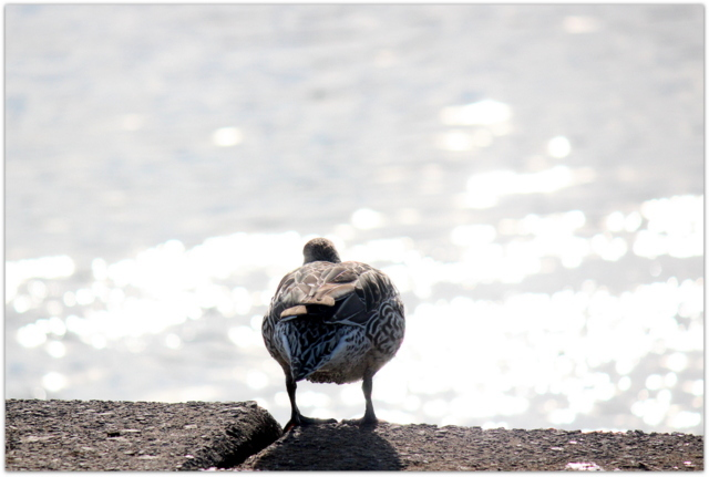 青森県 藤崎町 平川 オナガガモ 野鳥 自然 写真